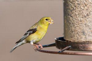Alimentação de aves em cativeiro